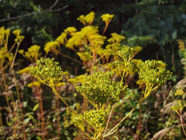 Patrinia scabiosifolia オミナエシ