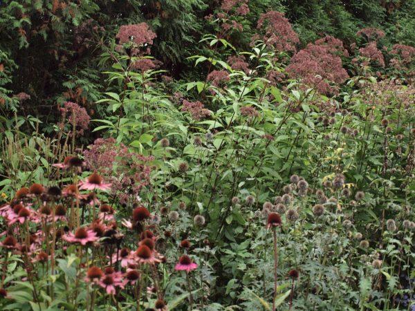 Echinacea purpurea, Echinops ritro、Eupatorium maculatum 'Atropurpureum' post-flower エキナケア、エキノプス、エウパトリウム