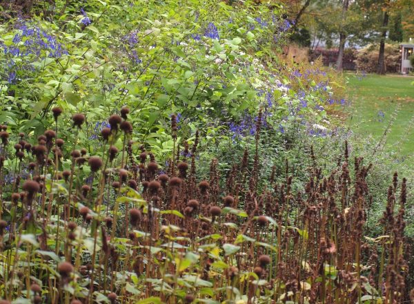 Monarda seedheads with Plectranthus effusus in the back モナルダシードヘッド