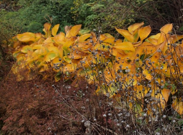 Astrantia and Astilbe, Hosta with glowing gold leaves in autumn アストランティア、アスティルベ、紅葉するホスタ
