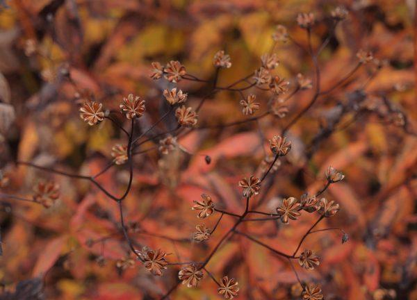 Gillenia trifoliata ギレニア シードヘッドは細かいが葉のグラデーションが美しい